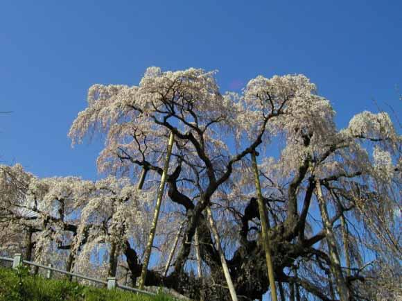 三春滝桜2015年の開花状況速報!見ごろやライトアップ期間を紹介!