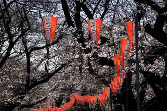 sakura-ueno-1