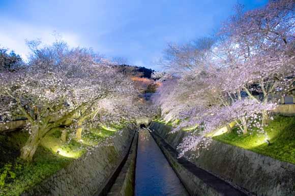 三井寺・琵琶湖疎水の桜はライトアップと昼間の鑑賞がおすすめ!