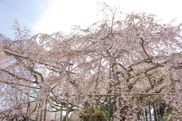 醍醐寺の桜現在の状況は?醍醐駅からのアクセスと受付での注意点!