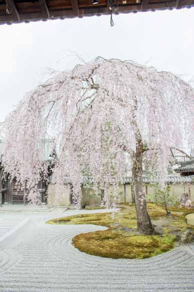 高台寺の桜~白川一本橋~岡崎疎水の桜~平安神宮コースを徒歩で観光!