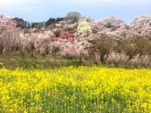 福島駅から花見山までバスでのアクセス方法と周辺地図を紹介!