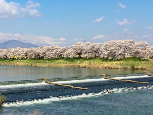 白石川提一目千本桜の駐車場とポスター撮影スポットや見どころ
